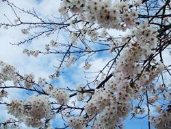 じょんのび桜