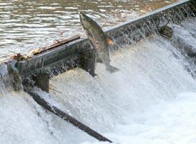 谷根川 鮭遡上