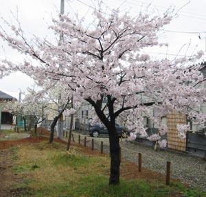 春日公園のさくら