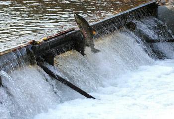 谷根川の鮭