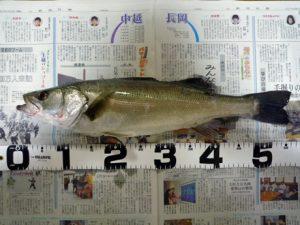 スズキくん(55cm)