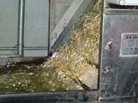 洗浄機から上がってくる豆もやし