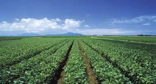 黒埼地区の茶豆畑