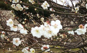梅が春の訪れを