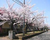うちの近所・枇杷島小学校の桜です